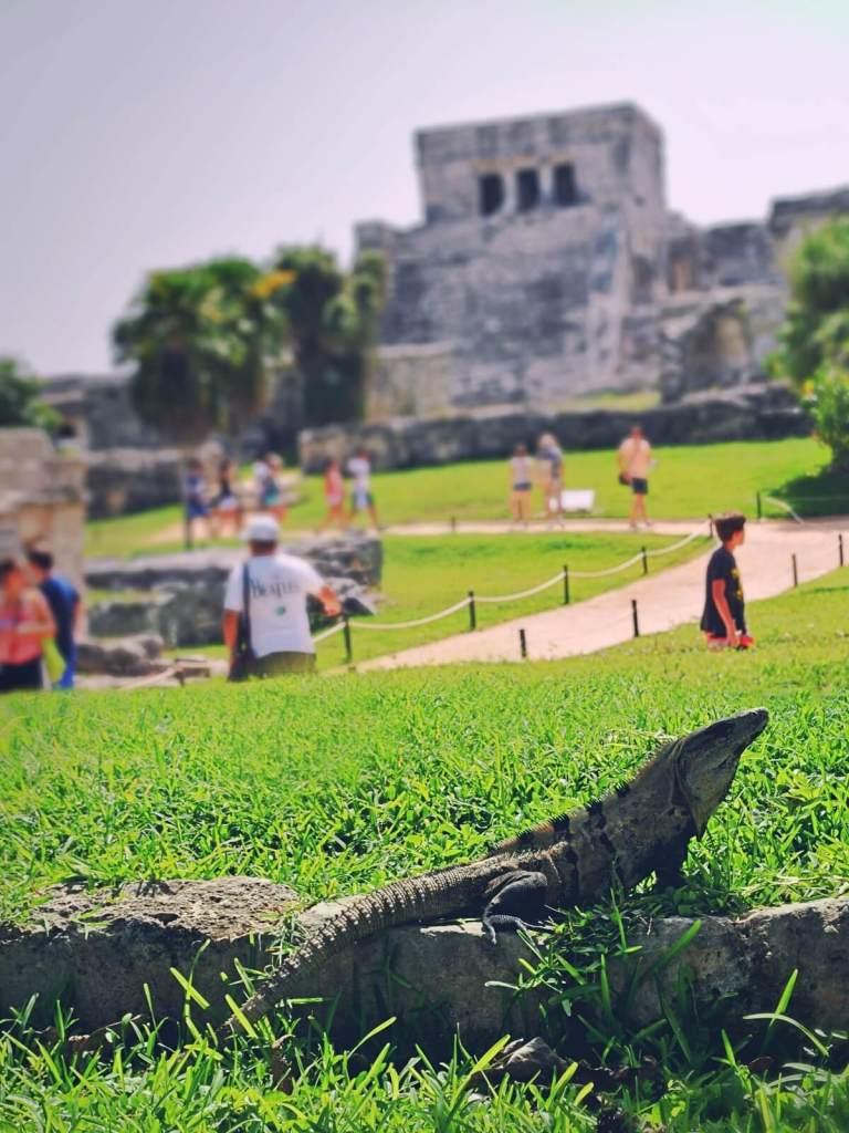 Iguana wygrzewająca się wśród ruin w Tulum w Meksyku.