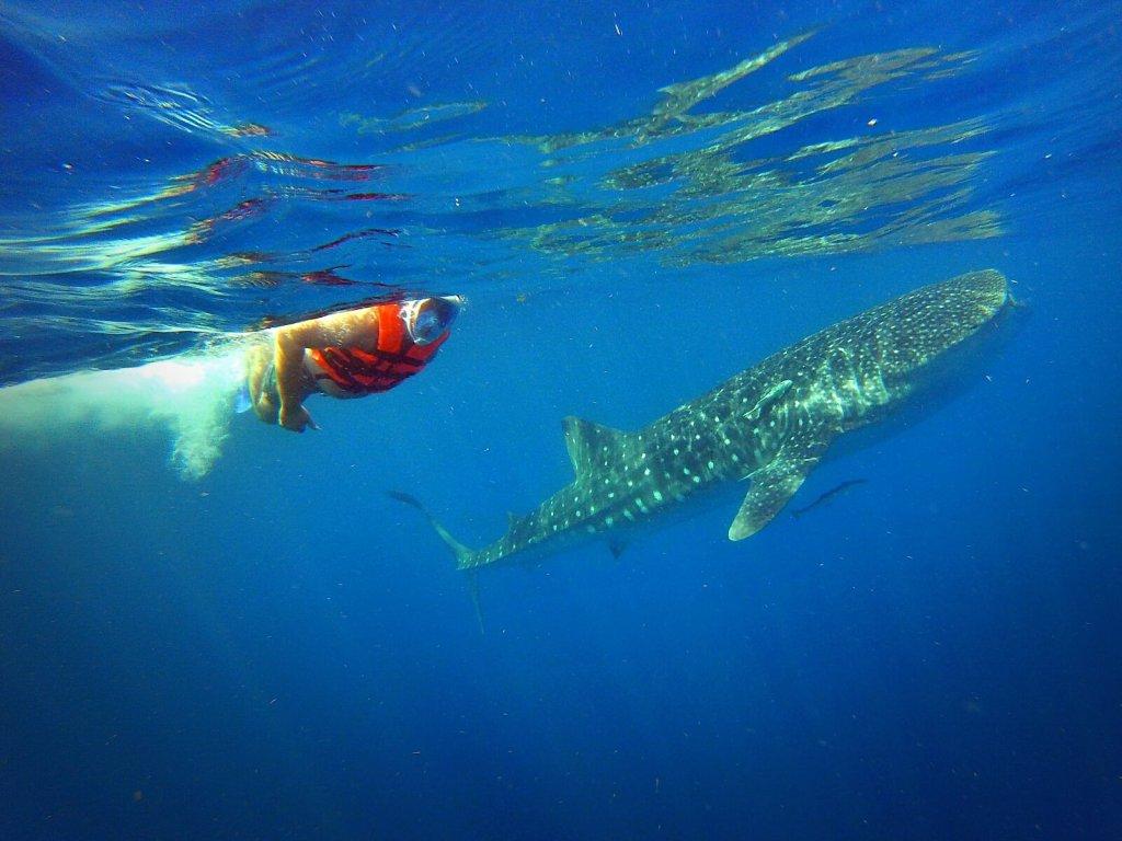 Bloger podrózniczy pływa z rekinami wielorybimi w Meksyku.
