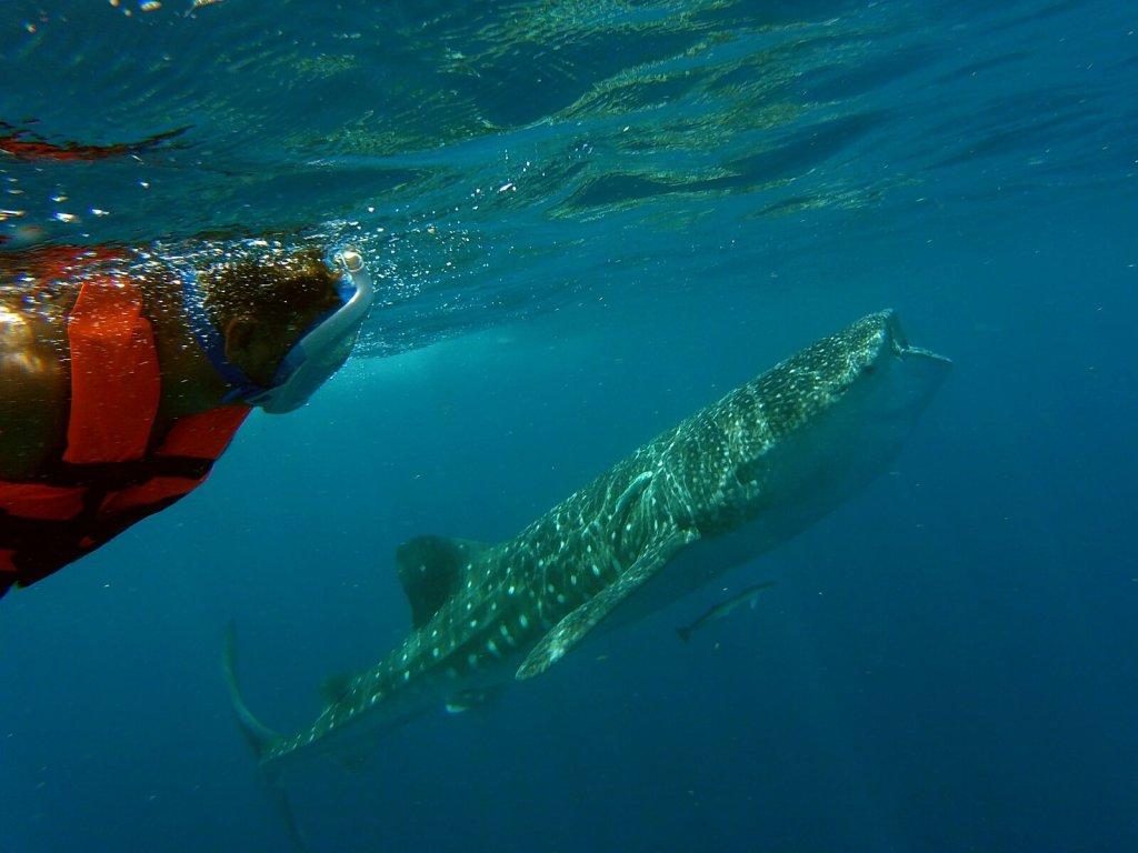 Bloger podróżniczy pływa z największymi rybami na świecie.