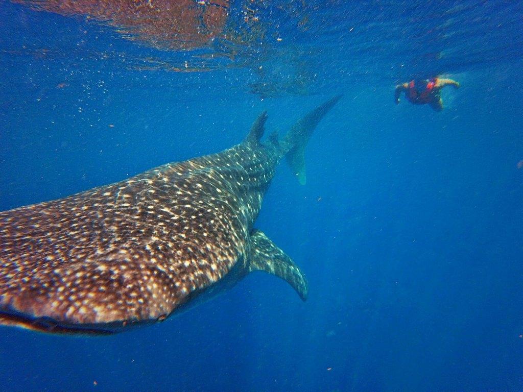 Rekin wielorybi to największa ryba na świecie.