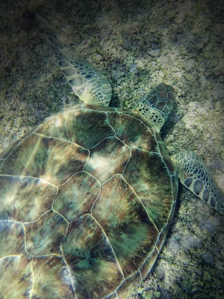 Żółwie morskie pasące się na morskich łąkach w Akumal w Meksyku.
