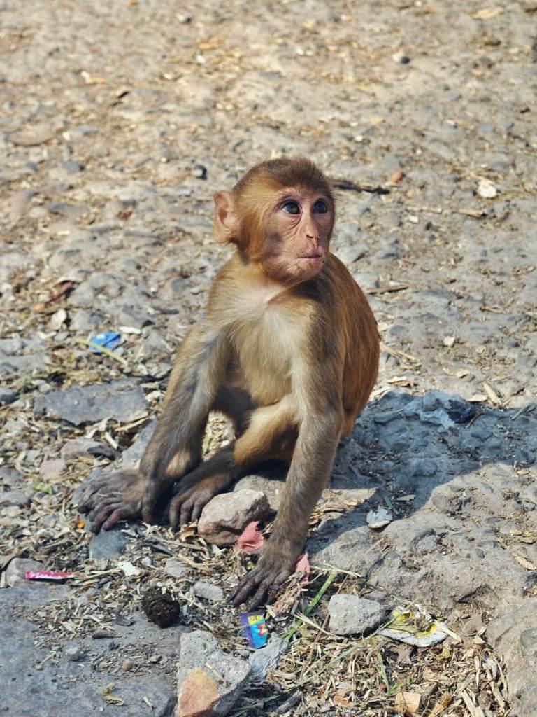 Małpy z dżajpurskiej świątyni małp.