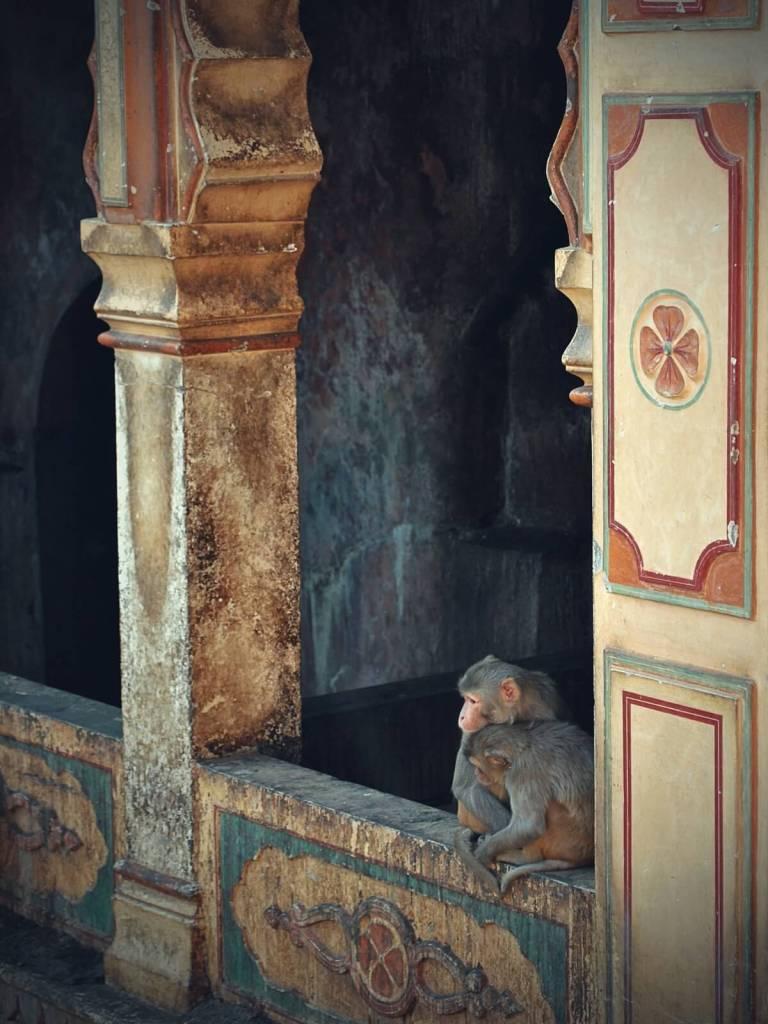 Świątynia Małp w Dżajpurze.