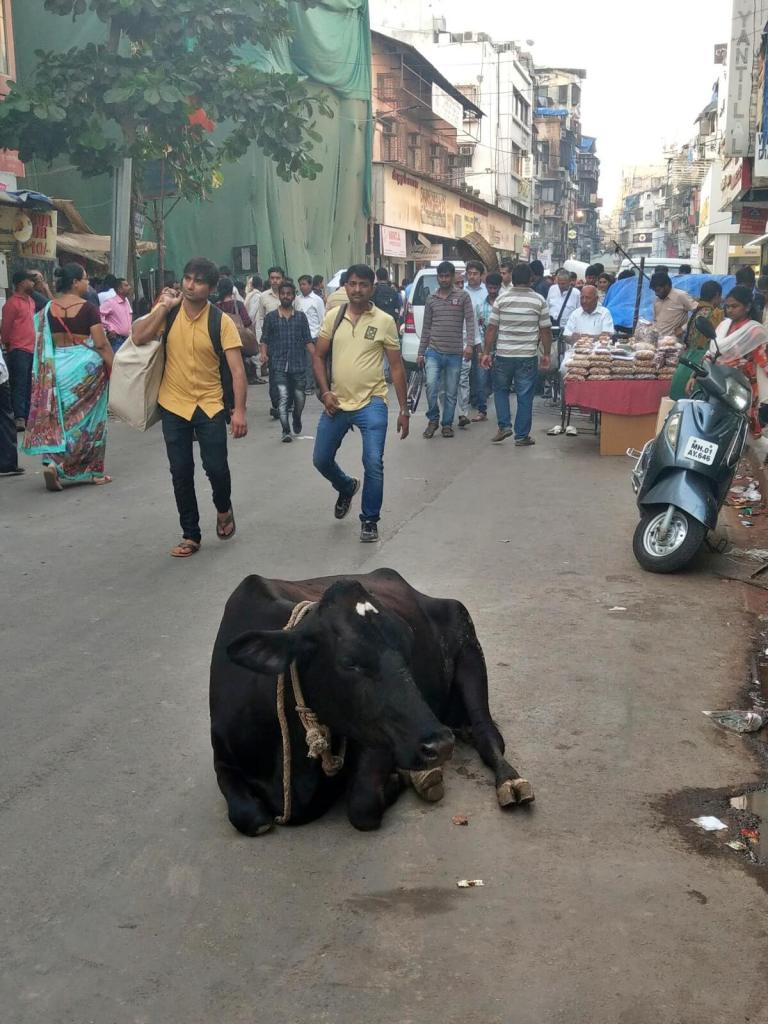Święte krowy na indyjskich ulicach.