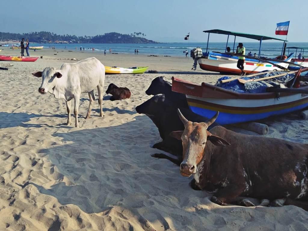 Krowy na plaży w Palolem , na Goa, w Indiach.