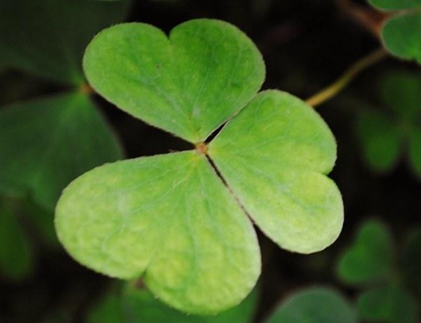 Koniczyna jest symbolem Irlandii