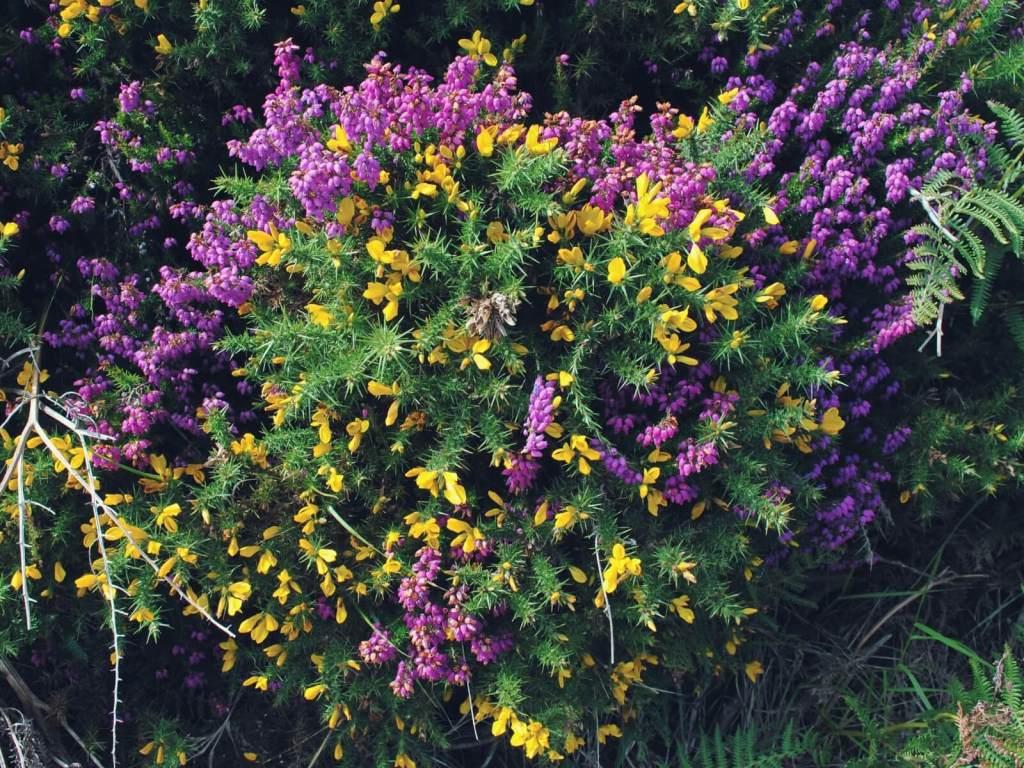 Kwitnące wrzosy w parku narodowym gór Wicklow.