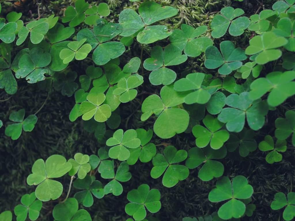 Irlandzka koniczyna.