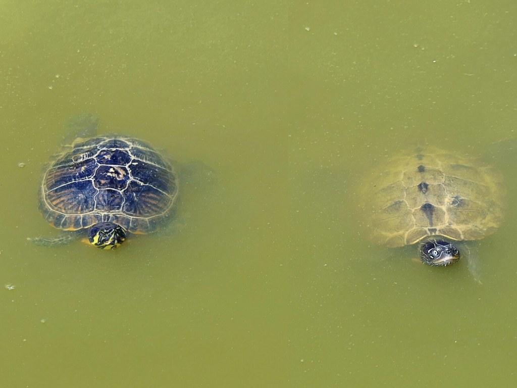 Żółwie w ogrodach Powerscourt w Irlandii.