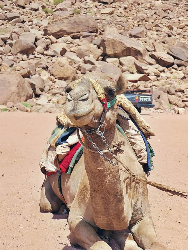 Wielbłąd na jordańskiej pustyni Wadi Rum.