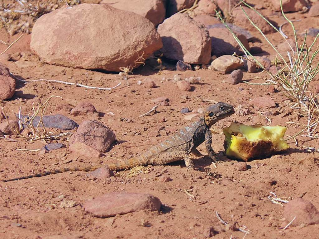 Jaszczurka na pustyni.
