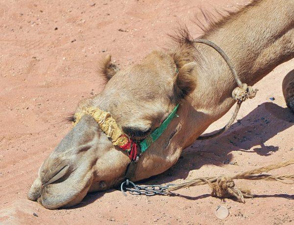 Wielbłąd na pustyni Wadi Rum w Jordanii.