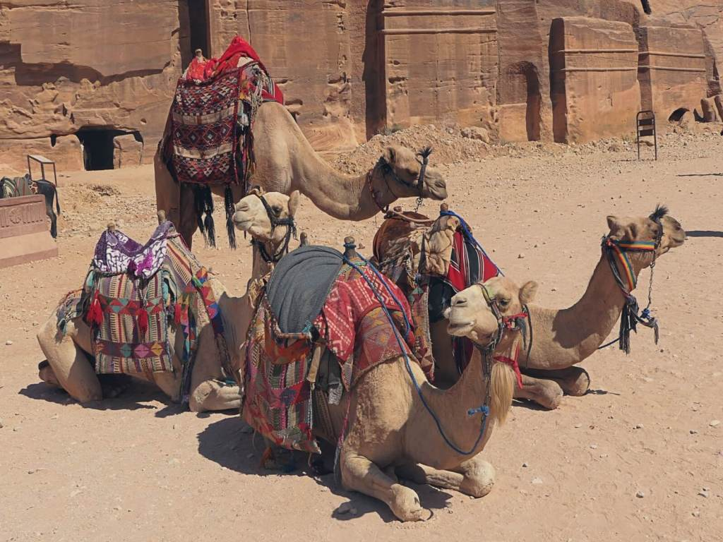 Wielbłądy w Petrze czekające na turystów.
