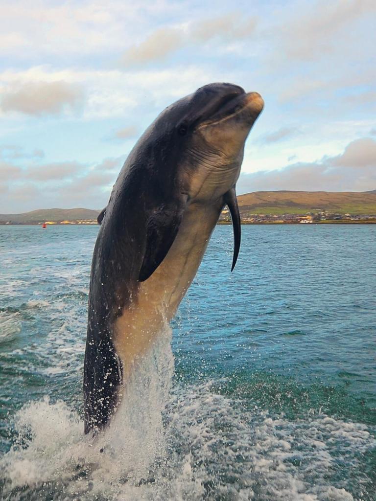Delfin Fungie z Dingle.