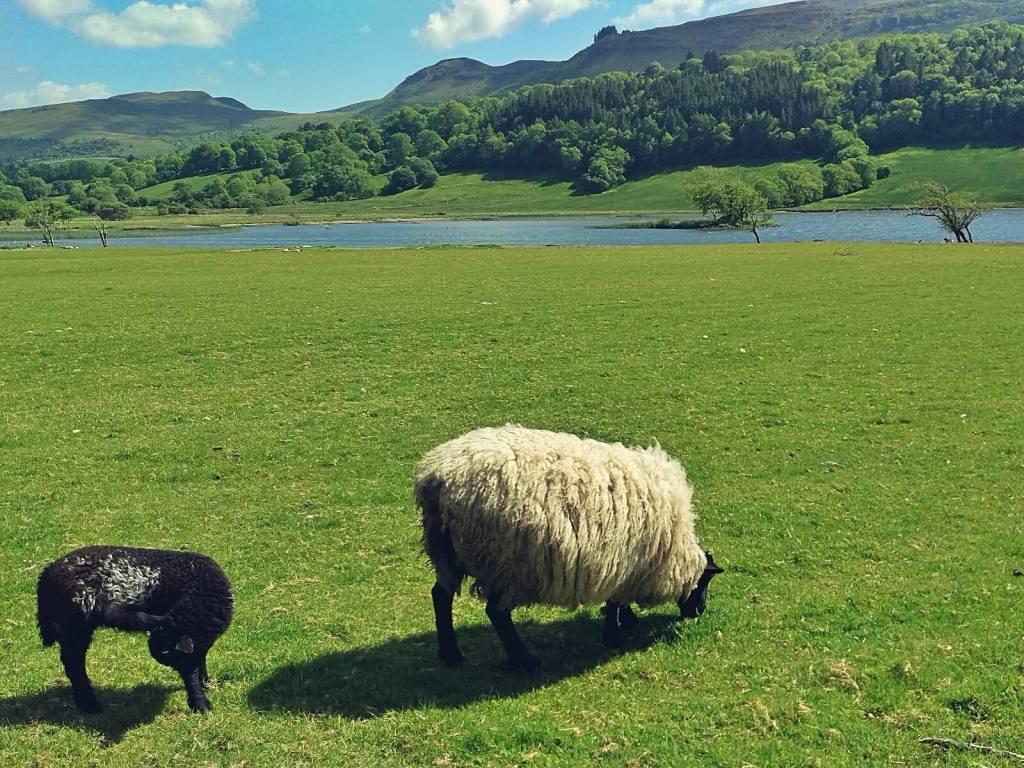 Sligo, Irlandia, owce na pastwisku.