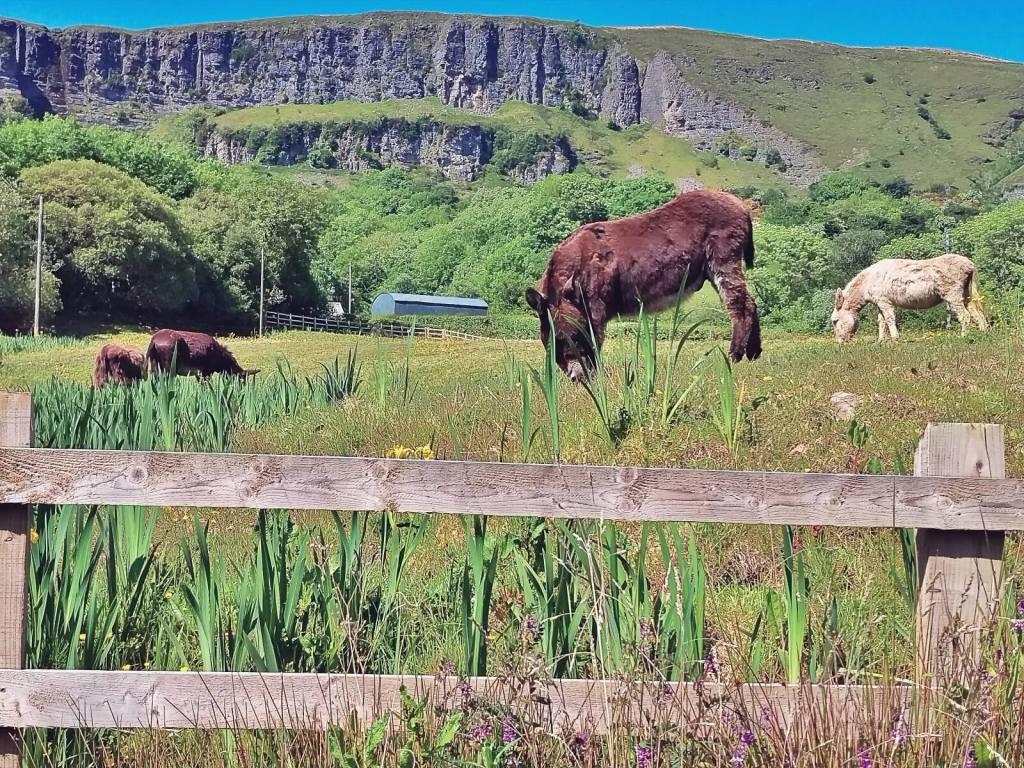 Sligo, Irlandia, osły na pastwisku.