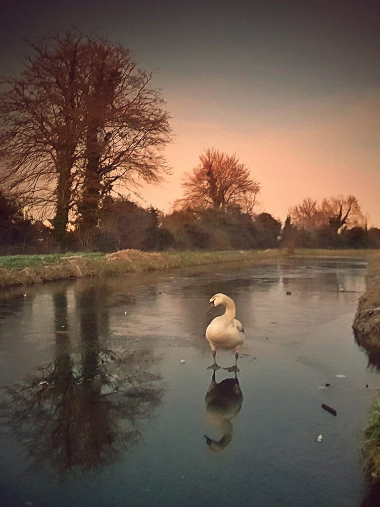 Łabędź na zamarzniętym kanale w Irlandii.