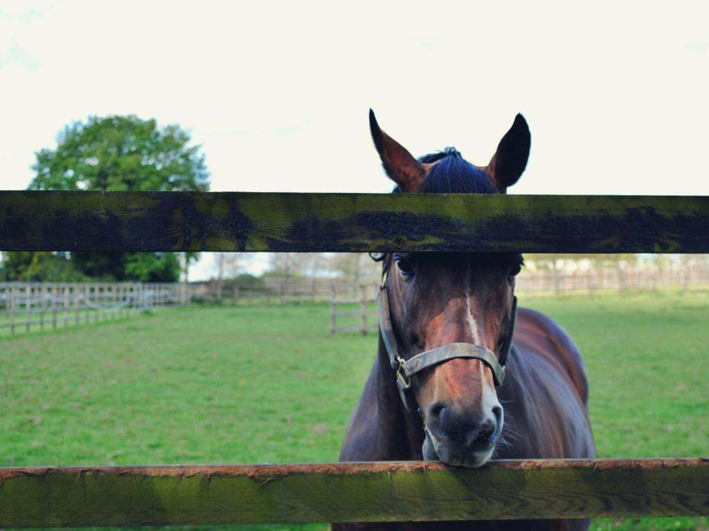 Konie ze stadniny w Kildare.